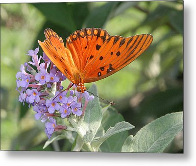 Metal Print featuring the photograph Gulf Fritillary On Butterfy Bush by Paula Tohline Calhoun