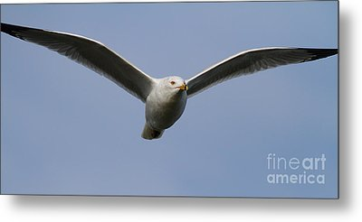 Gull In Flight . 7d12082 Metal Print by Wingsdomain Art and Photography