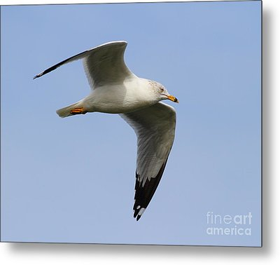 Gull In Flight . 7d12084 Metal Print by Wingsdomain Art and Photography