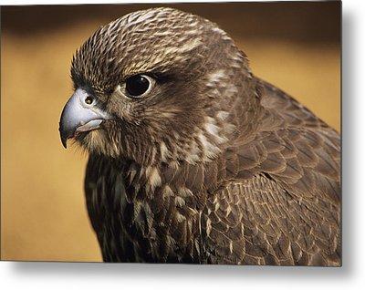 Gyr Falcon Metal Print by David Aubrey