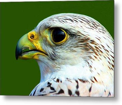 Gyr Falcon Metal Print by Ron Boily