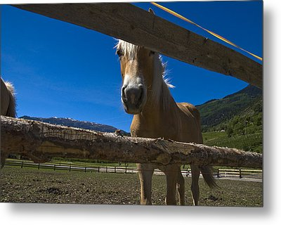 Haflinger Horse Looks Through A Fence Metal Print by Todd Gipstein