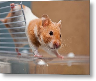 Hamster Metal Print by Tom Gowanlock