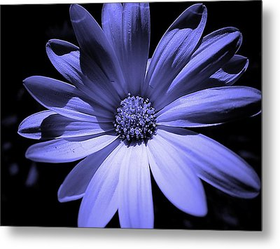 Happy African Daisy In Blue Metal Print by Beth Akerman