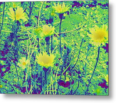 Happy Desert Daisies Metal Print by Claire Plowman