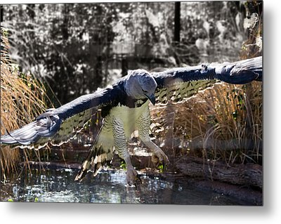 Harpy Eagle In Flight Metal Print by Lindy Spencer