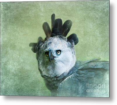 Harpy Eagle Portrait Metal Print by Betty LaRue