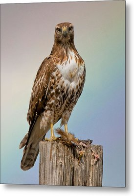 Hawk And Rainbow Metal Print