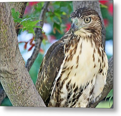 Hawk In Tree 3 Metal Print by Becky Lodes