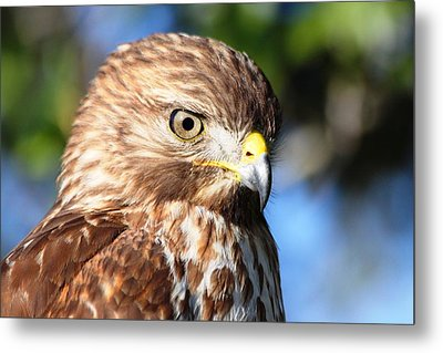 Metal Print featuring the photograph Hawk In Viera Florida by Jeanne Andrews