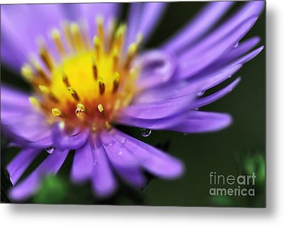 Hazy Daisy... With Droplets Metal Print by Kaye Menner