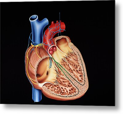 Heart Structure Metal Print by Francis Leroy, Biocosmos