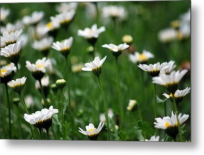 Metal Print featuring the photograph Heavenly Daisies by Amee Cave