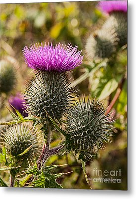 Hedgerow 2 Thistle Metal Print
