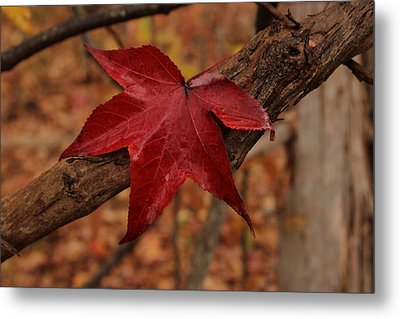 Metal Print featuring the photograph Hello Red by Bob Whitt