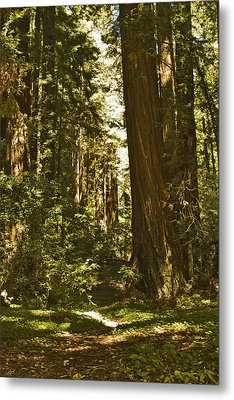 Henry Cowell Redwoods Late Summer Afternoon Metal Print by Larry Darnell