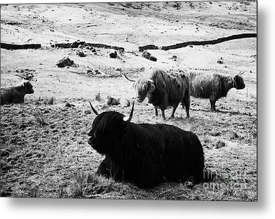 Herd Of Red And Black Highland Cattle Glencoe Highlands Scotland Uk Metal Print by Joe Fox