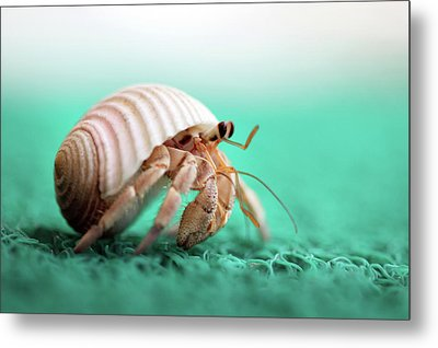 Hermit Crab Running Metal Print by With love of photography