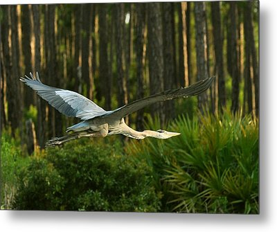 Metal Print featuring the photograph Heron In Flight by Rick Frost