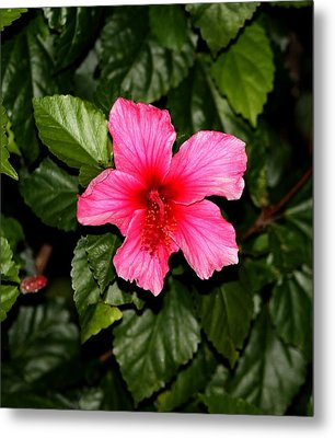 Metal Print featuring the photograph Hibiscus   by Elizabeth  Doran