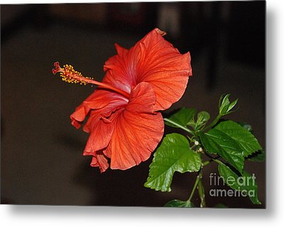 Metal Print featuring the photograph Hibiscus Bloom by Mark McReynolds