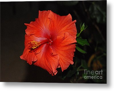 Metal Print featuring the photograph Hibiscus Close Up by Mark McReynolds
