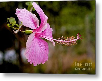 Metal Print featuring the pyrography hibiscus flower of Borneo.  by Gary Bridger