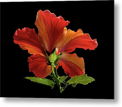 Metal Print featuring the photograph Hibiscus by Geraldine Alexander