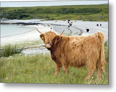 Highland Cattle By The Sea Metal Print by Duncan Shaw