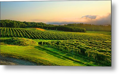 Hill-top Vineyard Metal Print by Steven Ainsworth