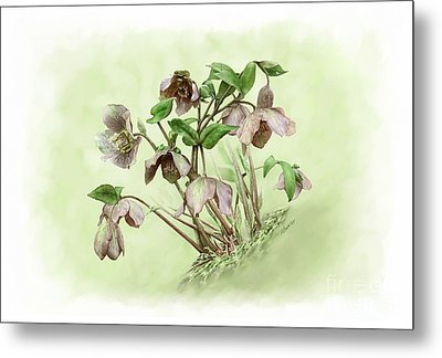 Hillside Hellebores Metal Print by Artellus Artworks