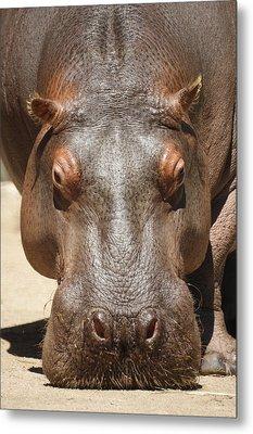 Hippopotamus Metal Print by Ernie Echols
