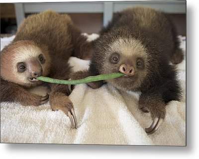 Hoffmanns Two-toed Sloth Orphans Eating Metal Print by Suzi Eszterhas