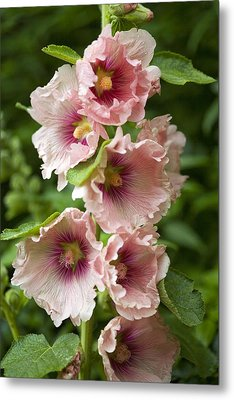 Hollyhock (alcea Rosea) Metal Print by Dr Keith Wheeler