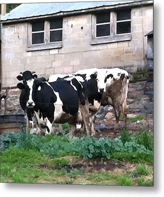 Metal Print featuring the photograph Holstein  by Elizabeth Coats