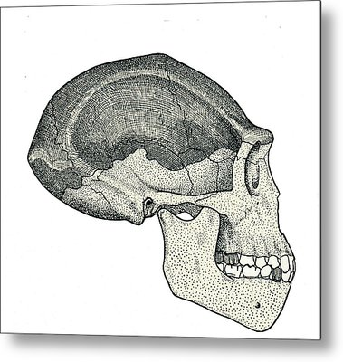 Homo Erectus Skull Metal Print by Sheila Terry
