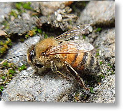 Metal Print featuring the photograph Honey Bee On Rocks by Renee Trenholm