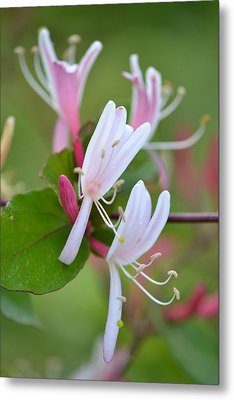 Metal Print featuring the photograph Honeysuckle by JD Grimes