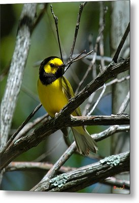 Metal Print featuring the photograph Hooded Warbler Dsb166  by Gerry Gantt