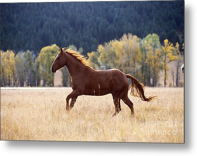 Horse Running Metal Print by Alan and Sandy Carey and Photo Researchers