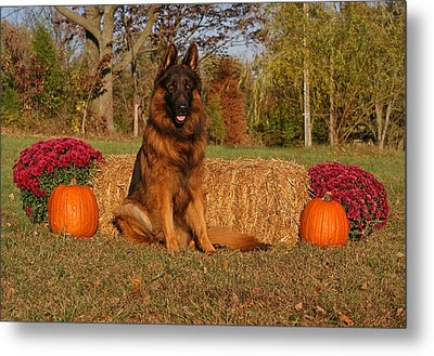 Hoss In Autumn II Metal Print by Sandy Keeton