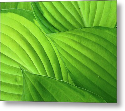 Hosta Leaves Metal Print by Photograph by Judith Green