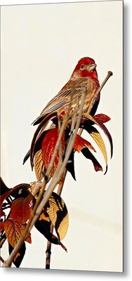 Metal Print featuring the photograph House Finch Perch by Elizabeth Winter