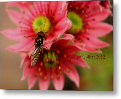 Hover Fly II Metal Print by Jacqui Collett