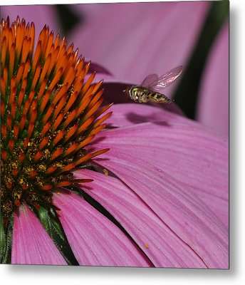 Hoverfly Hovering Over Cornflower Metal Print