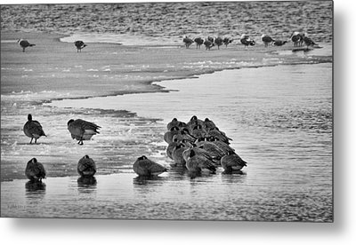 Metal Print featuring the photograph Huddled Honkers by Kevin Munro