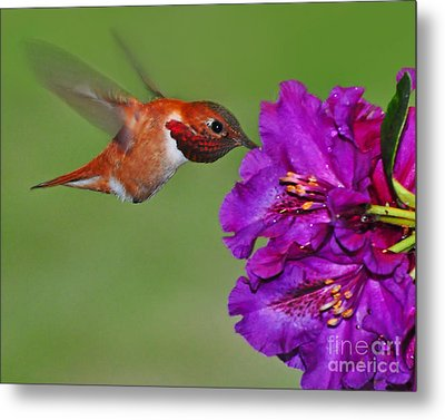 Metal Print featuring the photograph Hummer N Blooms by Jack Moskovita