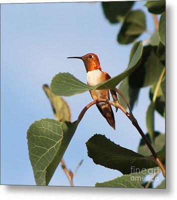 Hummingbird 11 Metal Print