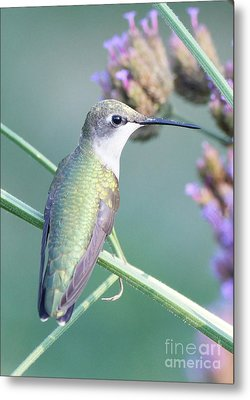Hummingbird At Rest Metal Print by Robert E Alter Reflections of Infinity