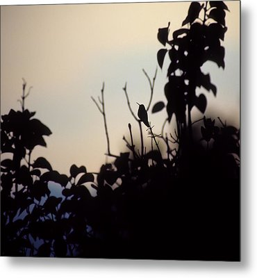 Hummingbird At Sunset Metal Print